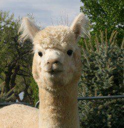 alpaca_picture2_39150