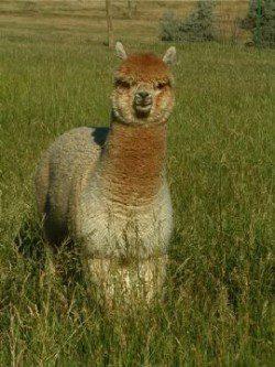 alpaca_picture2_39161