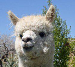 alpaca_picture1_39199