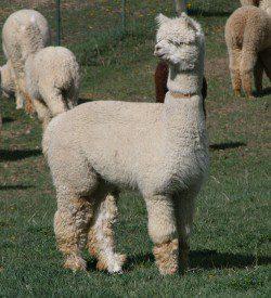 alpaca_picture1_41542
