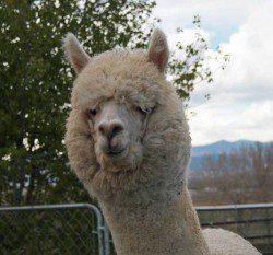 alpaca_picture2_39178