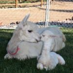 alpaca_picture3_39285