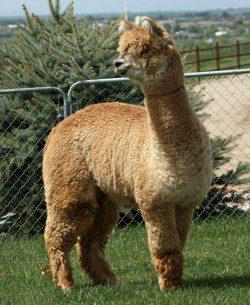 alpaca_picture4_39181