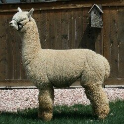 alpaca_picture2_39163