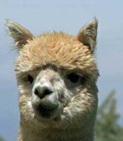 alpaca_picture4_39153