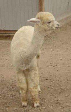 alpaca_picture1_39148