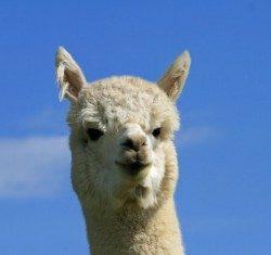 alpaca_picture1_39151