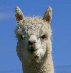 alpaca_picture1_39159