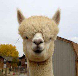 alpaca_picture1_39188