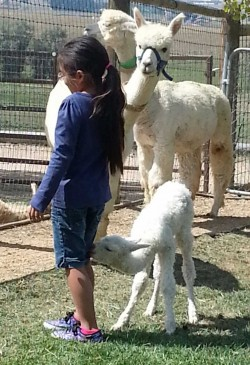 alpaca_picture1_39286