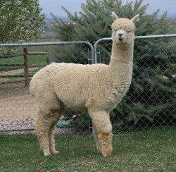 alpaca_picture2_39145