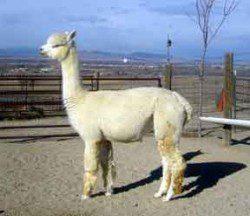 alpaca_picture2_39166