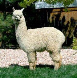 alpaca_picture2_39191