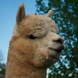 alpaca picture2 39164