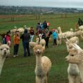 Alpaca Ranch Visits