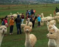 Alpaca Ranch Visits